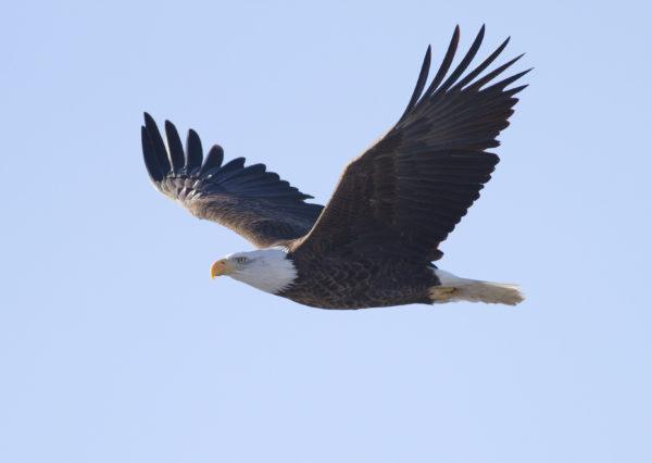 Les aigles, la nouvelle arme de lutte anti-drone de l'armée de l'air