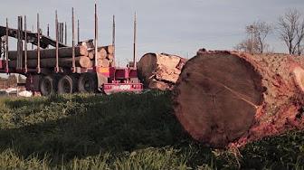 La demande chinoise de bois de chêne française explose et menace nos scieries