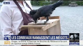 Au Puy du Fou, les corbeaux sont dressés pour ramasser les mégots