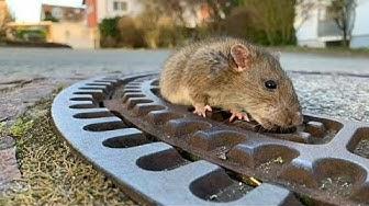 Allemagne : 8 pompiers et un vétérinaires pour sauver... un rat obèse !